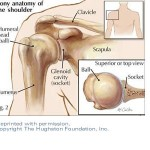 The Anatomy of the Shoulder